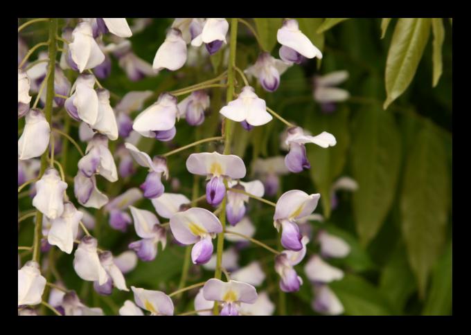 wisteria sinensis blütezeit